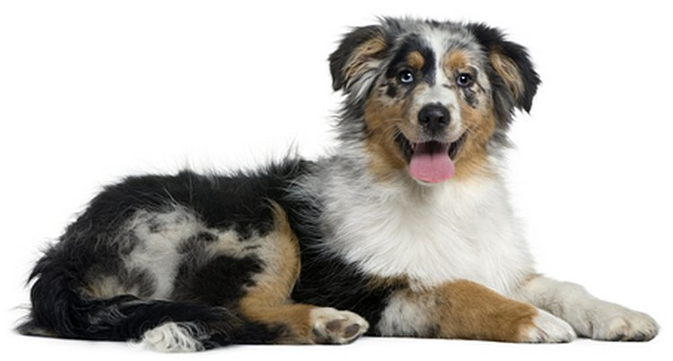 Australian Shepherd Dog. DogLost reunites dogs with their owners.