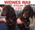 STOLEN SPROCKER PUPPY STILL MISSING from WA8 (North West) - click to find out more
