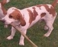 HANSUM IN DOGS TODAY from SA11 (Wales) - click to find out more