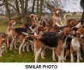 THREE FOXHOUNDS from MK46 (South East) - click to find out more