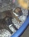 TWO STAFFIE PUPPIES STOLEN from PE23 (East Anglia) - click to find out more