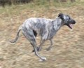 STOLEN LURCHER from RG25 (South East) - click to find out more
