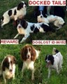 THREE SPANIELS STOLEN ONE FEMALE AND TWO MALE from NN17 (Central) - click to find out more
