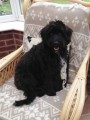 DEXTER COCKERPOO from L37 (North West) - click to find out more