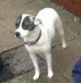 MOLLY WHIPPET X SBT  from OL8 (North West) - click to find out more